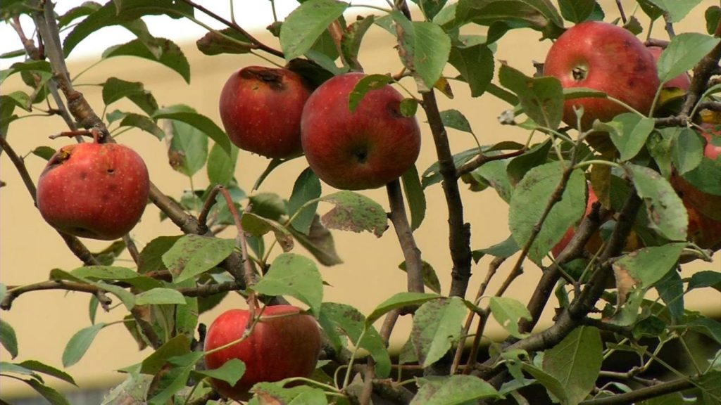 CEAP Apple Orchard